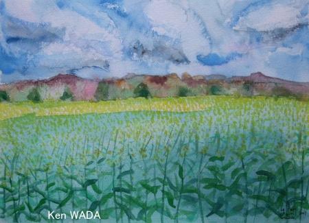 Les champs de colza