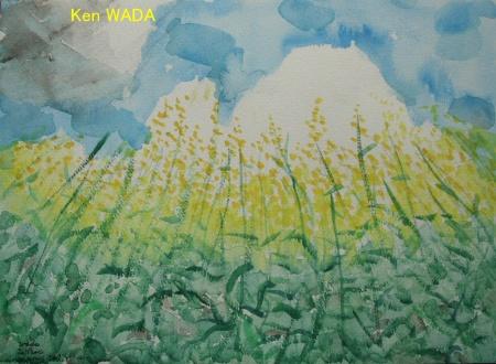 Les champs de colza 10